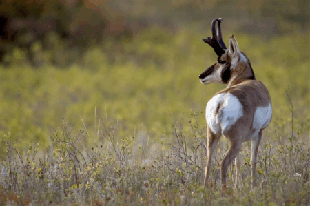 antelope on the prairie