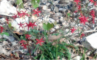 red flowers in a rocky background