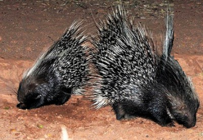 picture of porcupines