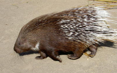 rejected porcupine walking with head down